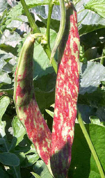 1000 Images About Pea Bean Varieties On Pinterest 400 x 300