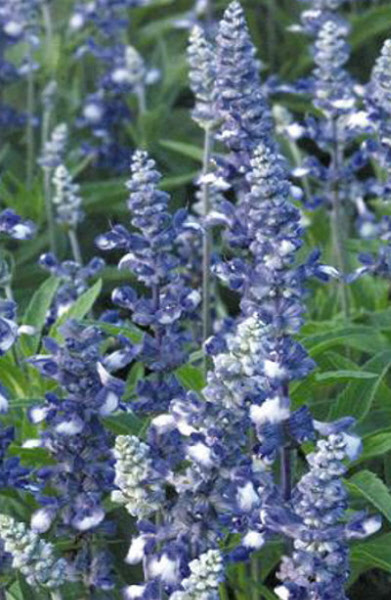 how to grow white sage in australia from seed