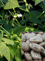 The Vegetable Seed Store Bean Seeds